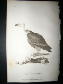 Shaw C1810 Antique Bird Print. Chestnut Vulture